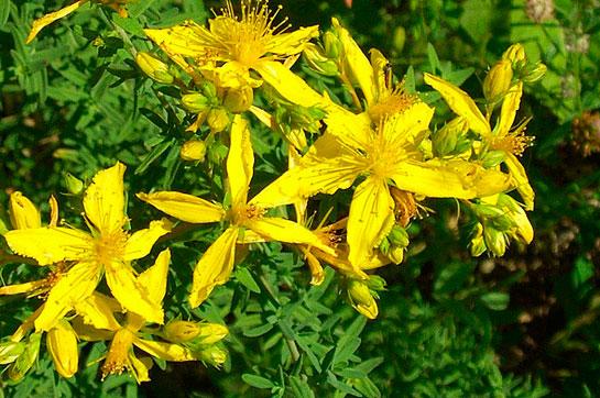 Sarı Kantaron Vücuda Faydaları